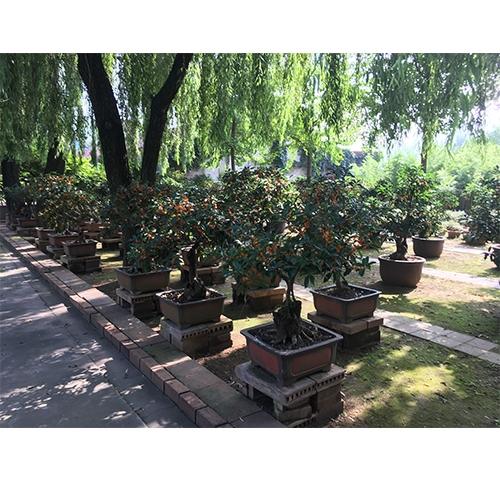 古桂盆景园